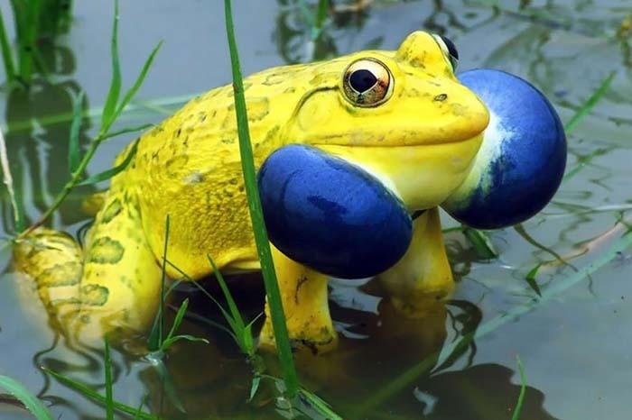 ranas-y-sapos-raros-4