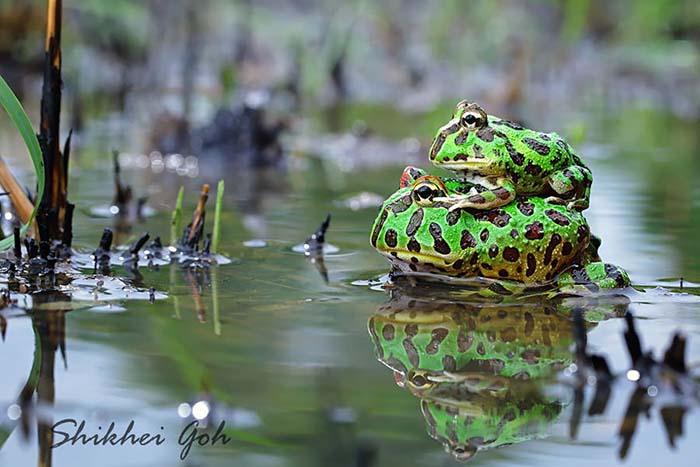 ranas-y-sapos-raros-9