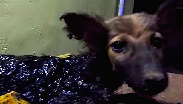 rescatan-perro-cubierto-de-alquitran-1