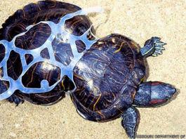 Tortuga deformada a causa de la basura