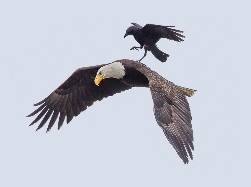 aguila-vuela-con-un-cuervo-1