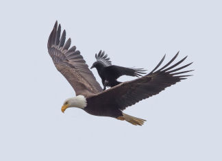 águila vuela con un cuervo como pasajero