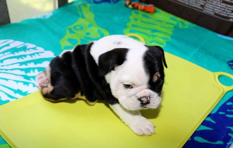 cachorro-de-dos-patas-7