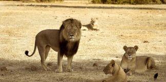 cecil-con-leones-de-la-manada