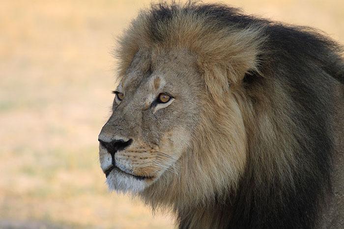 cecil-el-león