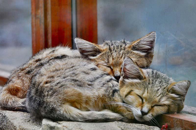 Gatos de las arenas dormidos