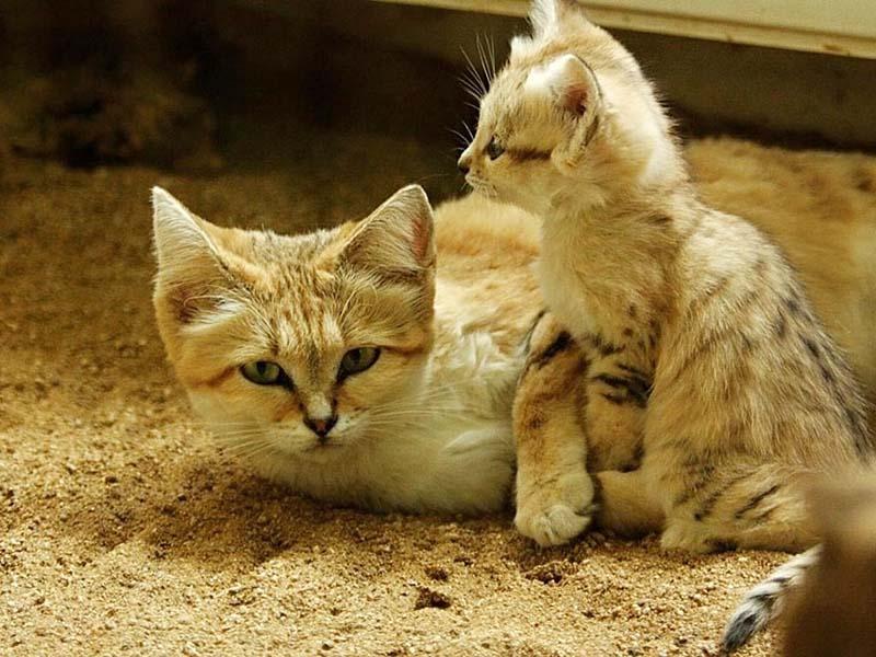 gatos del desierto