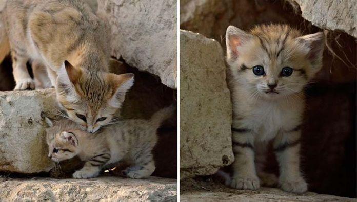 gato de las arenas