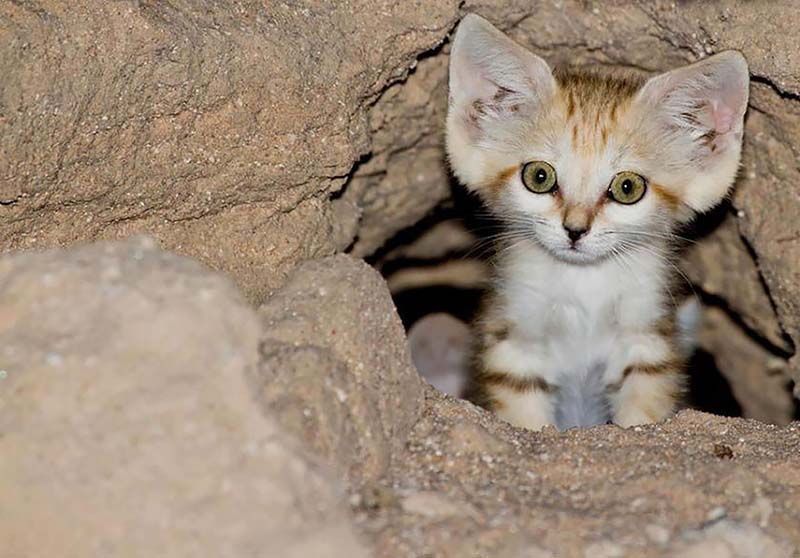 gatito del desierto o gato de las arenas