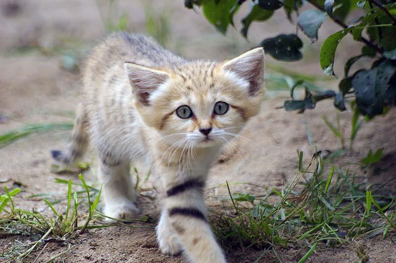 Gato de las arenas - felis margarita