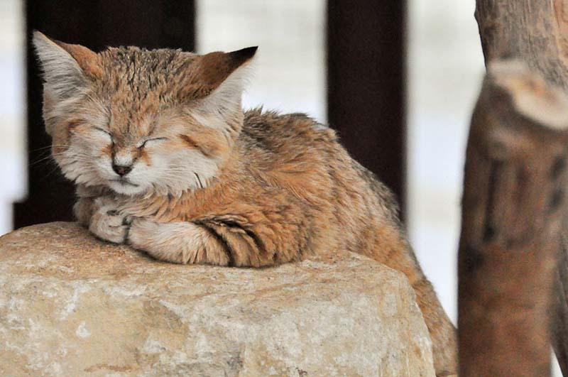 Gato de las arenas - especie salvaje