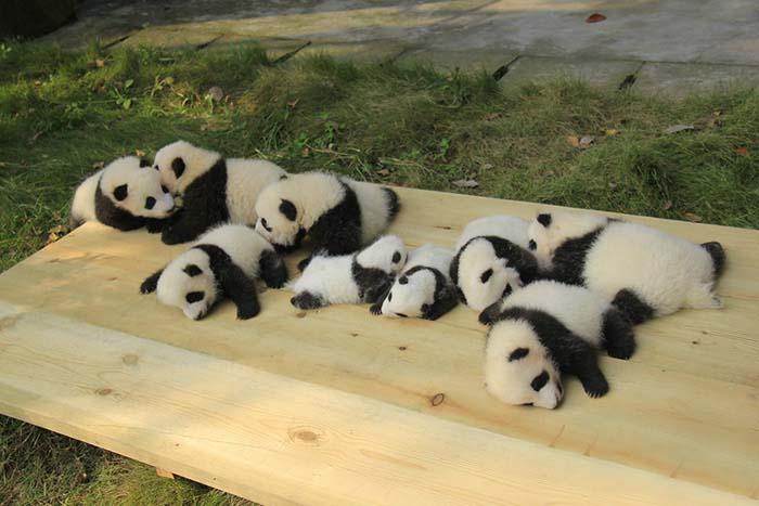 Bebés de oso panda