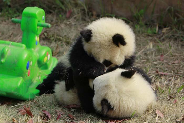 Hermosos osos panda