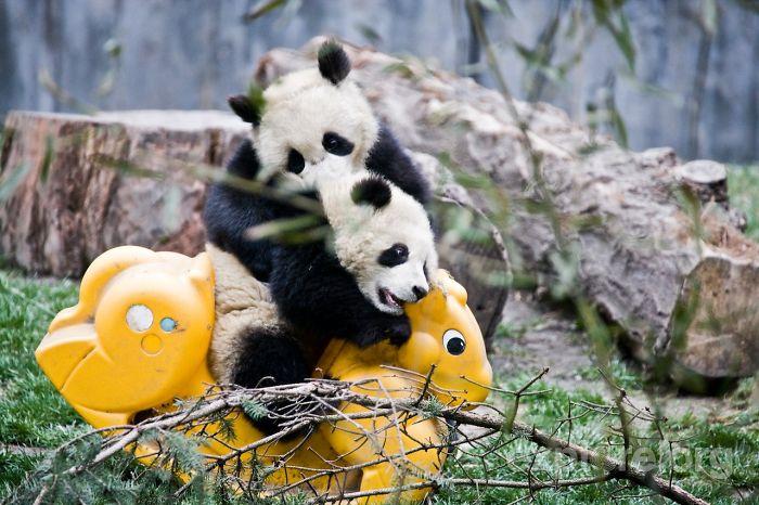 Oso panda jugando
