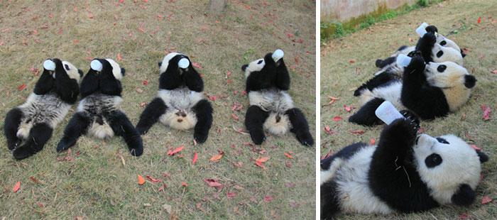 Guardería de osos panda