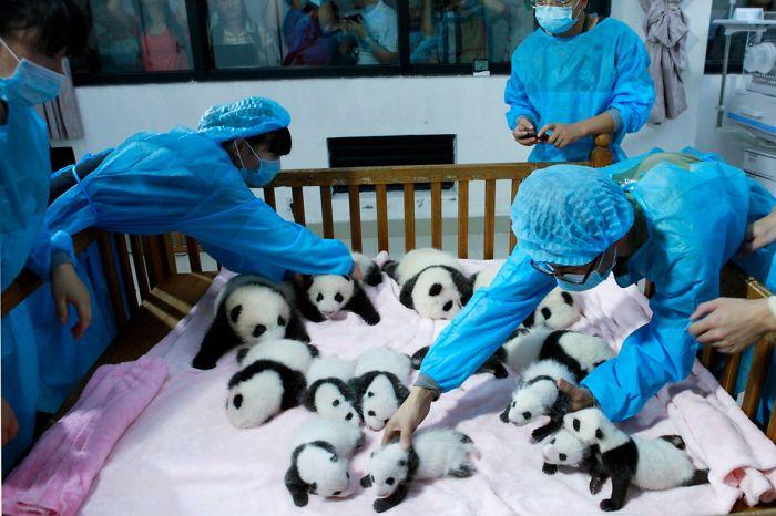 guardería de osos panda más adorable del mundo