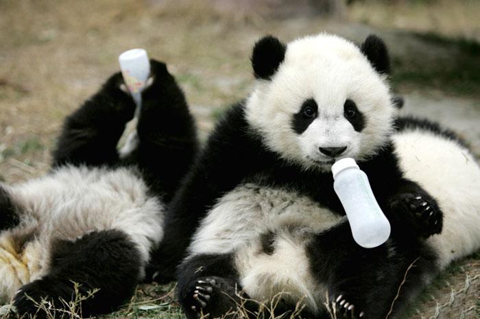 guardería-de-osos-panda-5