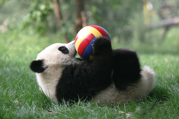 Oso panda y su juguete