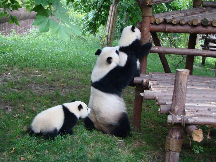 Osos panda jugando en la guardería