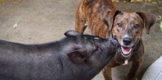Perro y cerdo abandonados encuentran una familia