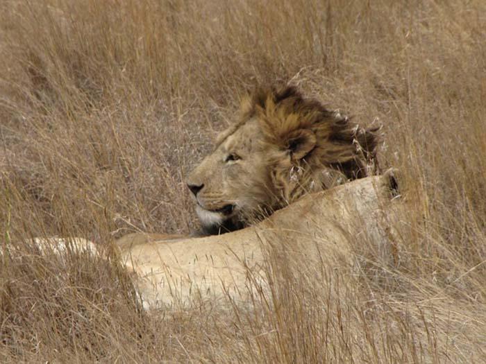 leon-notasdemascotas
