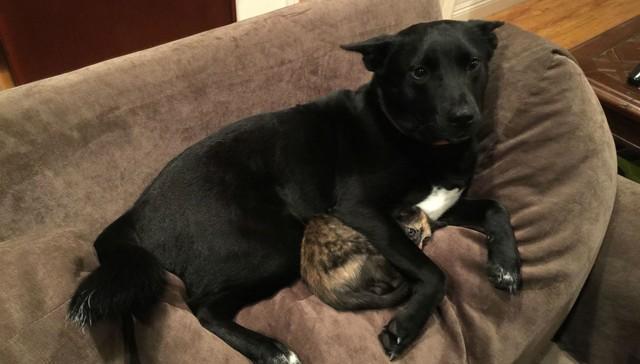 perro protege y tranquiliza a un gatito