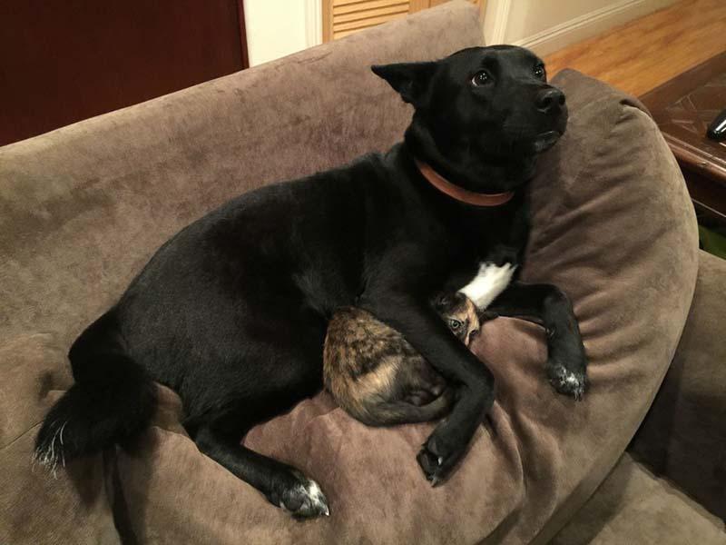 Perro tranquiliza a un gatito