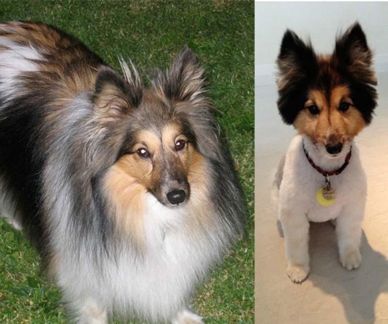 perros-antes-y-después-de-peluquear-1