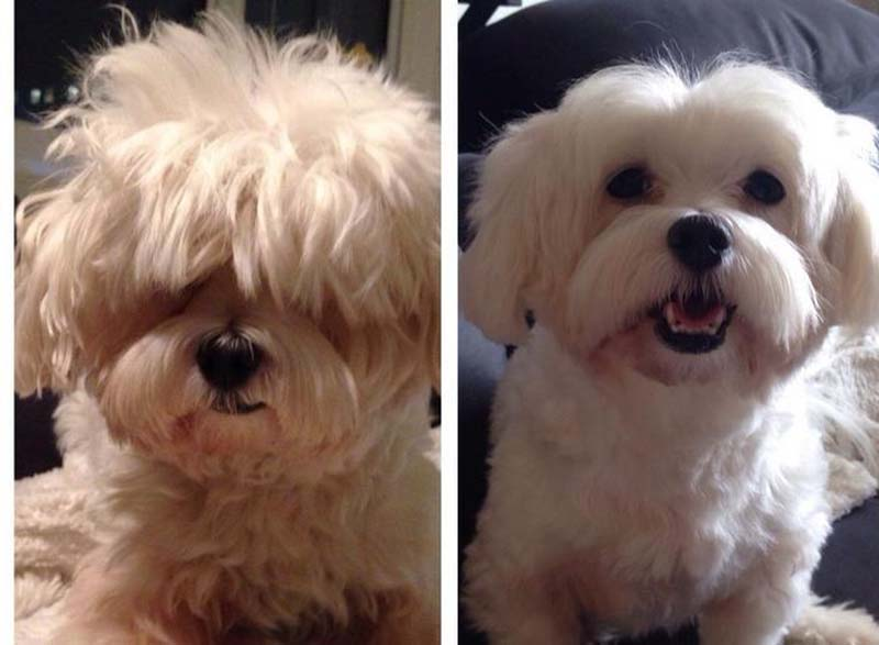 perros-antes-y-después-de-peluquear-2