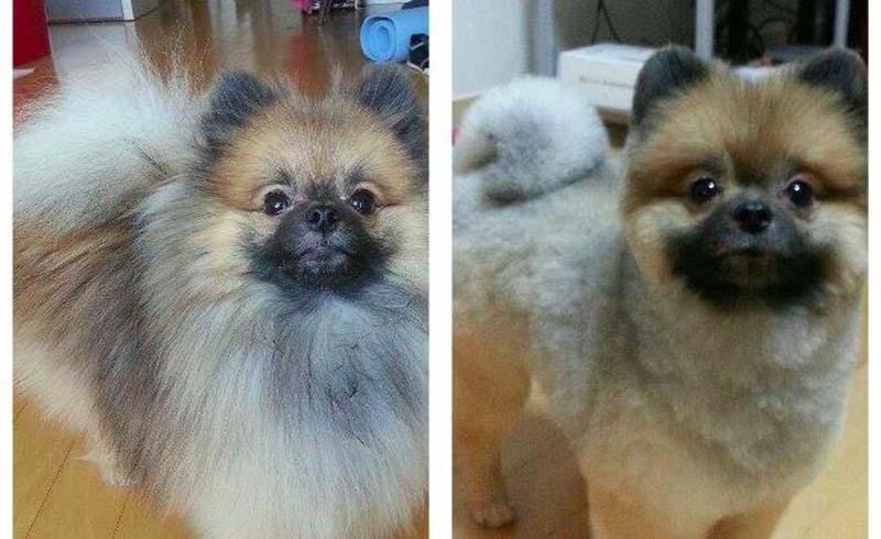 perros-antes-y-después-de-peluquear-6