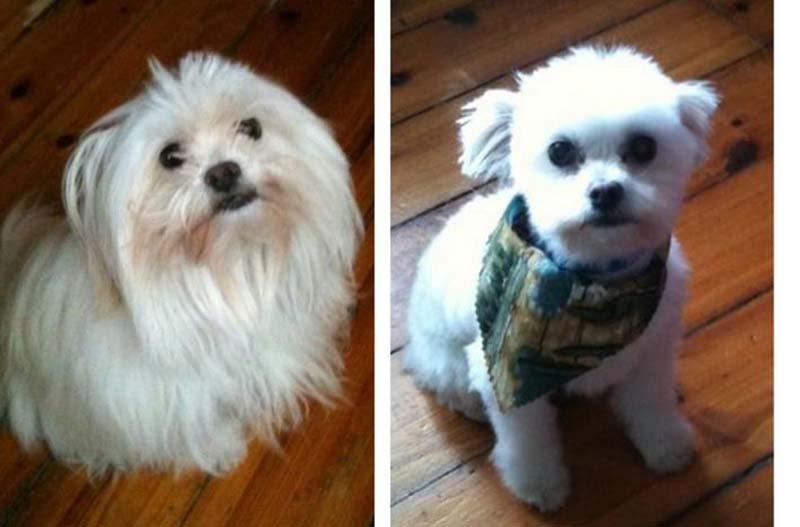 perros-antes-y-después-de-peluquear-7