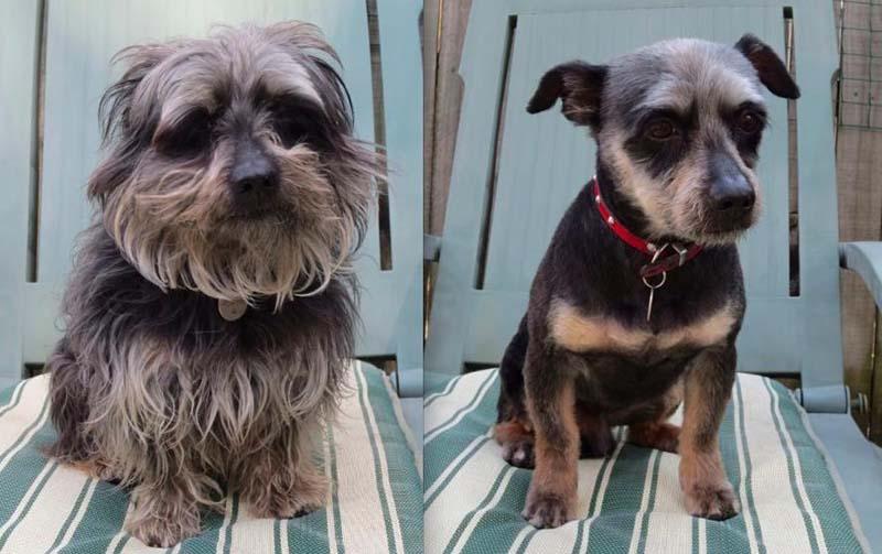 perros-antes-y-después-de-peluquear-8