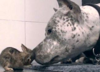 pit bulls conviviendo con conejos
