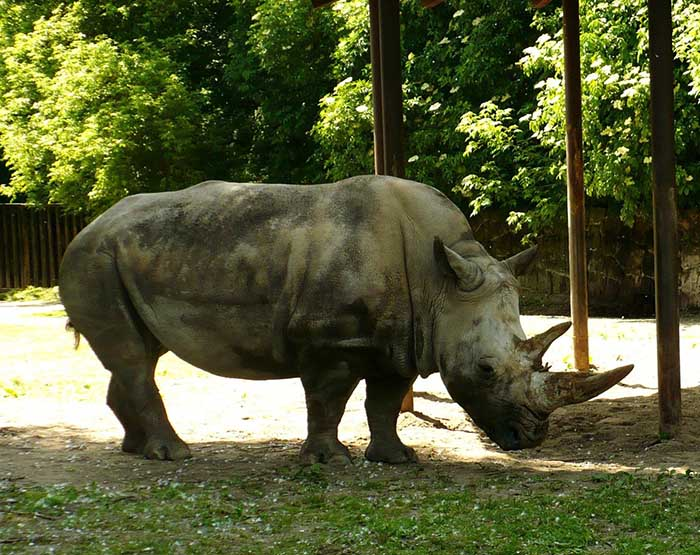 rinoceronte-blanco-notasdemascotas