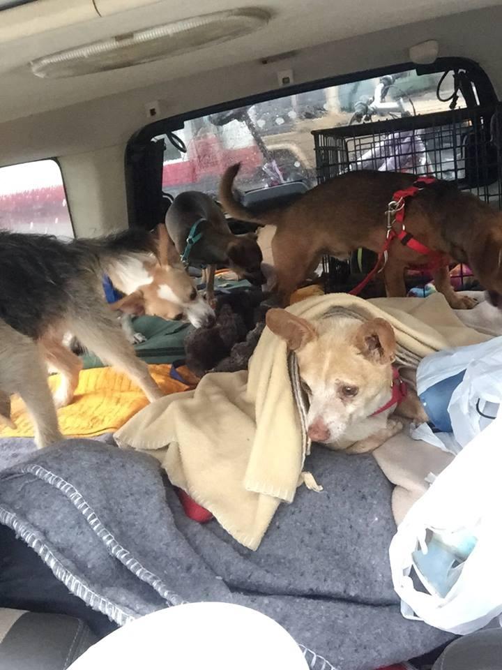 Perros en el auto