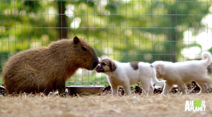 cachorros-tienen-madre-adoptiva-inusual-2