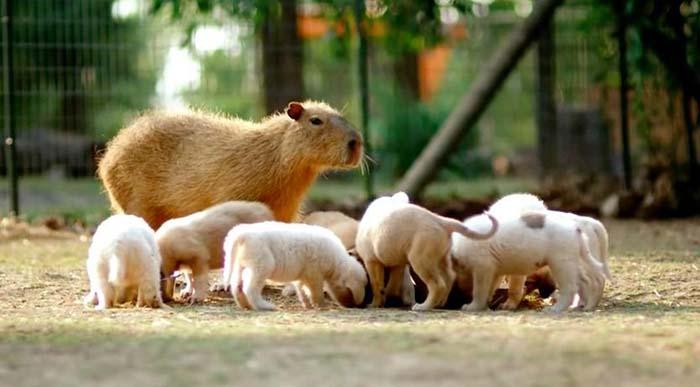 cachorros-tienen-madre-adoptiva-inusual
