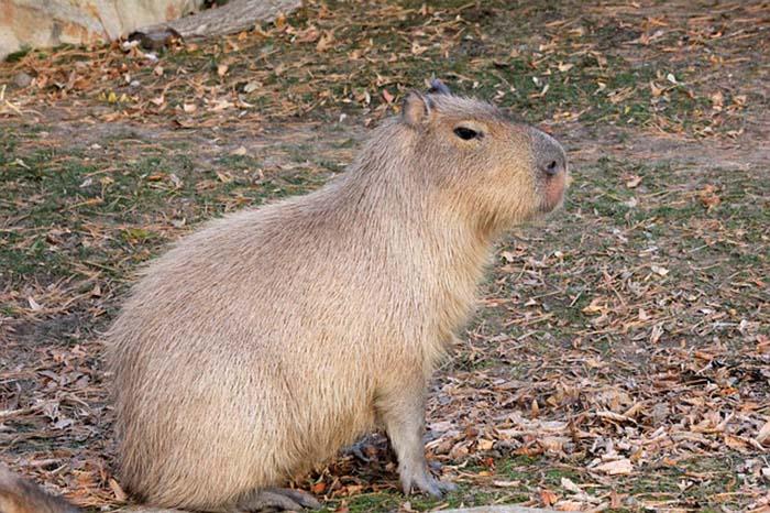 capibara-notasdemascotas