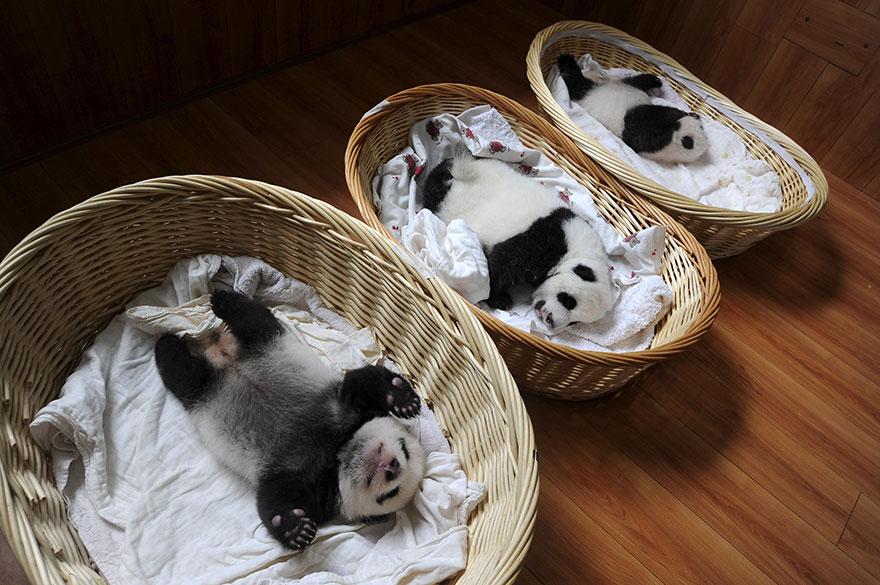 crías-de-osos-panda-1