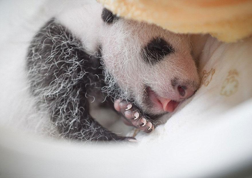 crías-de-osos-panda-10