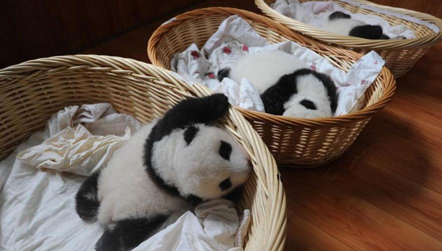 crías-de-osos-panda-12