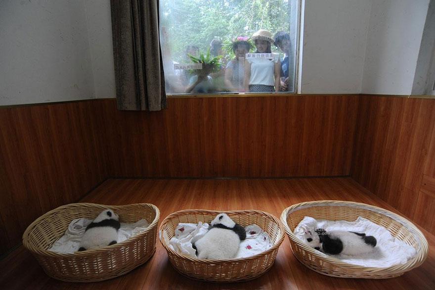 crías-de-osos-panda-14