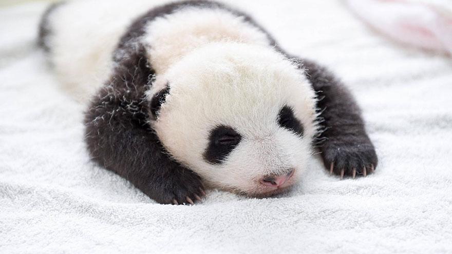 crías-de-osos-panda-15