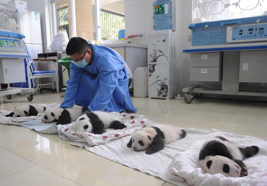 crías-de-osos-panda-3