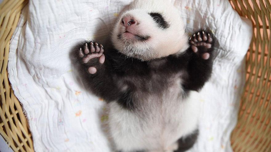 crías-de-osos-panda-5