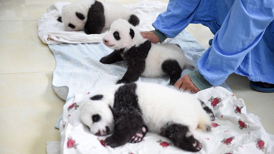 crías-de-osos-panda-6