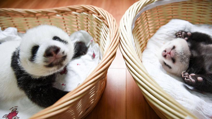crías-de-osos-panda-9
