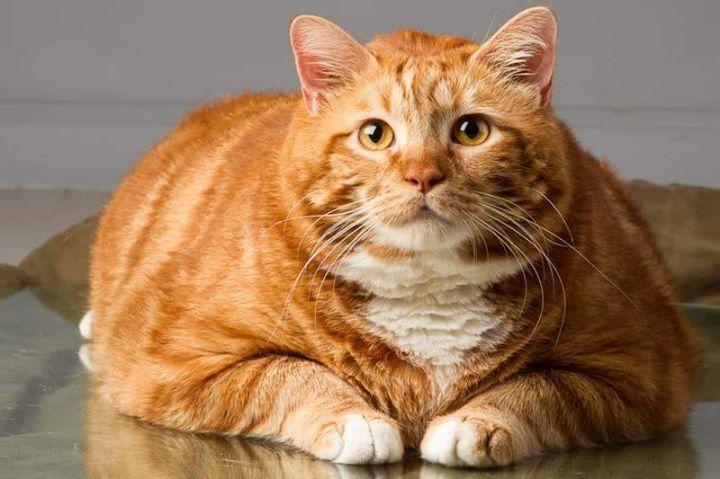 gato-con-sobrepeso-1