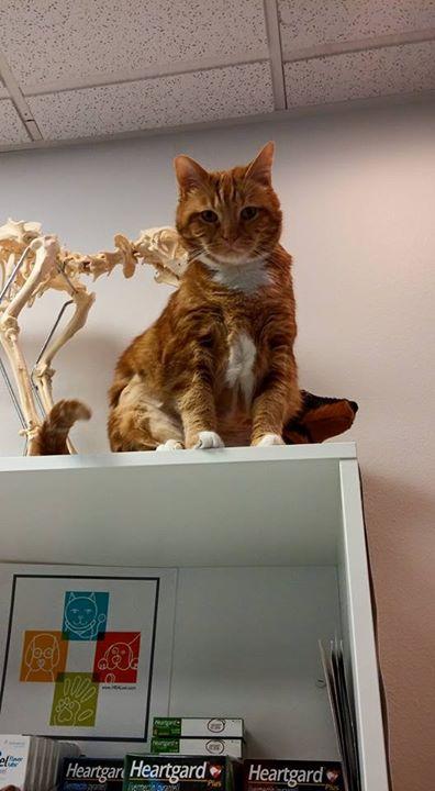 gato-con-sobrepeso-notasdemascotas