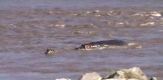 Hipopótamo salva a pequeña cebra